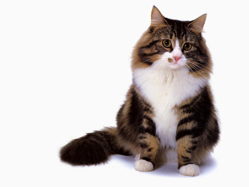 [JLM scans - Cat Breed...