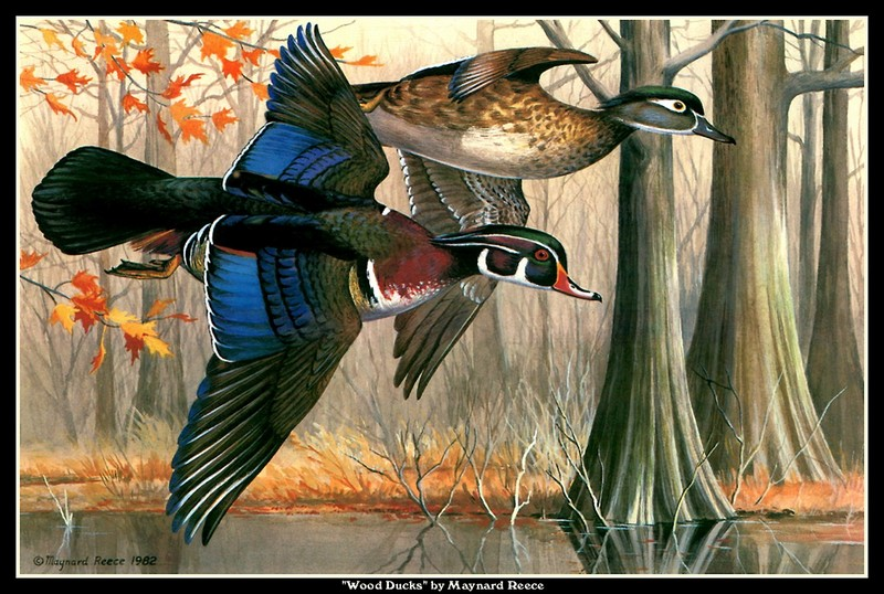 [CameoRose scan] Painted by Maynard Reece, Wood Ducks; DISPLAY FULL IMAGE.