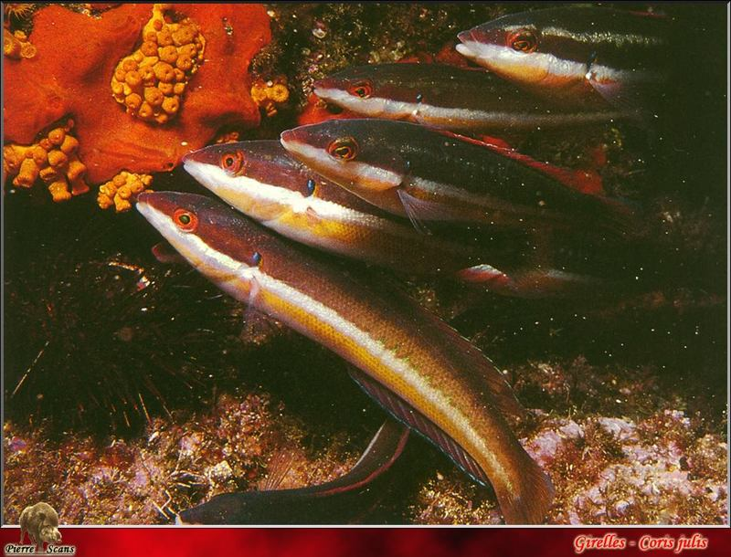 [PO Scans - Aquatic Life] Mediterranean rainbow wrasse (Coris julis); DISPLAY FULL IMAGE.