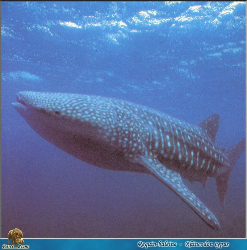 [PO Scans - Aquatic Life] Whale shark (Rhincodon typus); DISPLAY FULL IMAGE.
