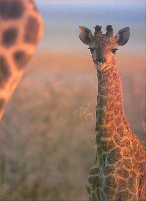 PR-JB018 Giraffe.jpg