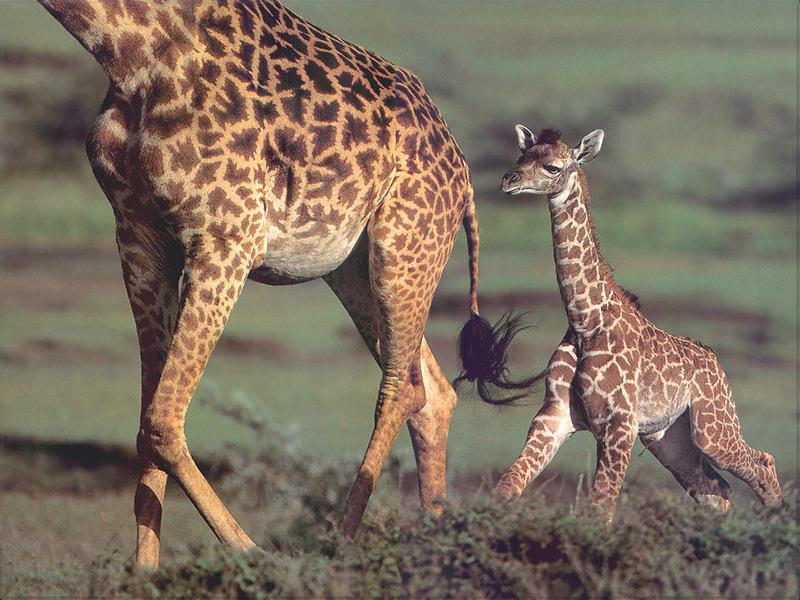 PR-JB056 Giraffe.jpg