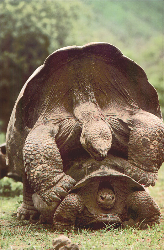 [PhoenixRising Scans - Jungle Book] Galapagos tortoise; Image ONLY