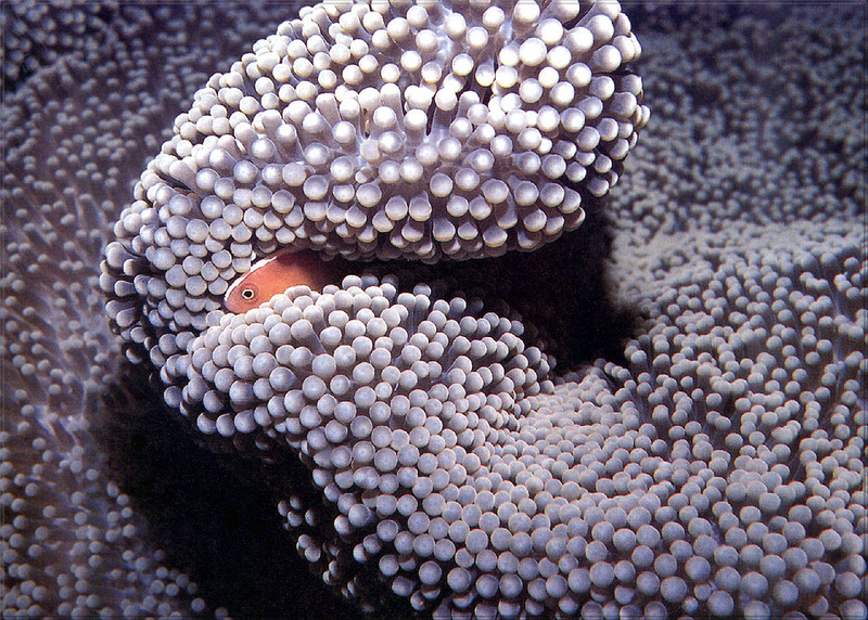 [PhoenixRising Scans - Jungle Book] Anemone fish; DISPLAY FULL IMAGE.