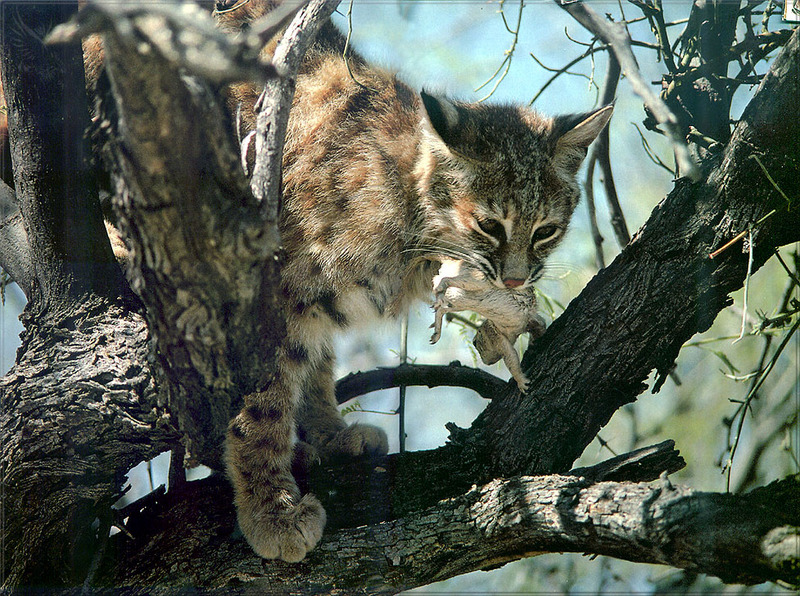 lynx forest jungle animal - photo #13