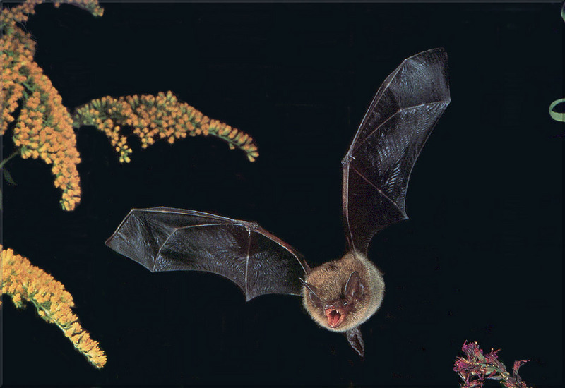 [PhoenixRising Scans - Jungle Book] Little Brown Bat; DISPLAY FULL IMAGE.