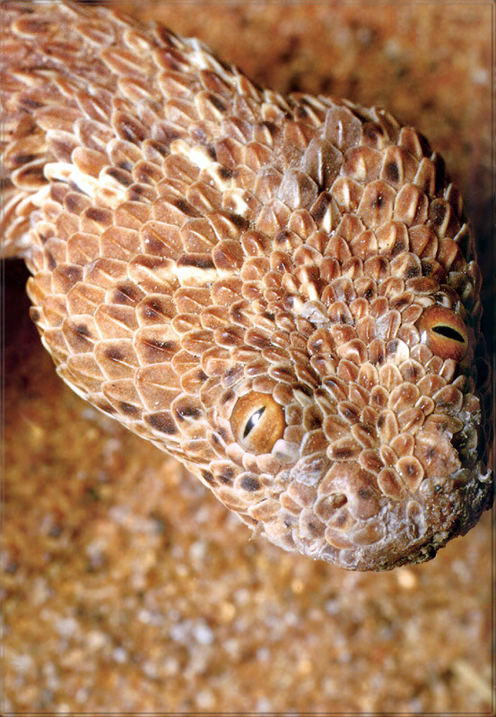 [PhoenixRising Scans - Jungle Book] Sidewinder viper; Image ONLY