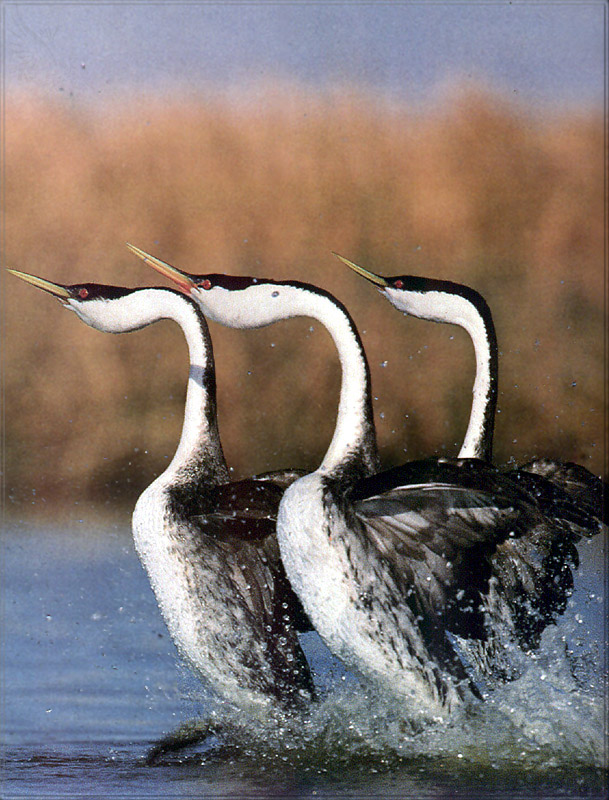 [PhoenixRising Scans - Jungle Book] Western grebes; Image ONLY