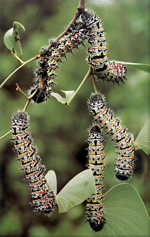 PR-JB268 Mopane worms.jpg