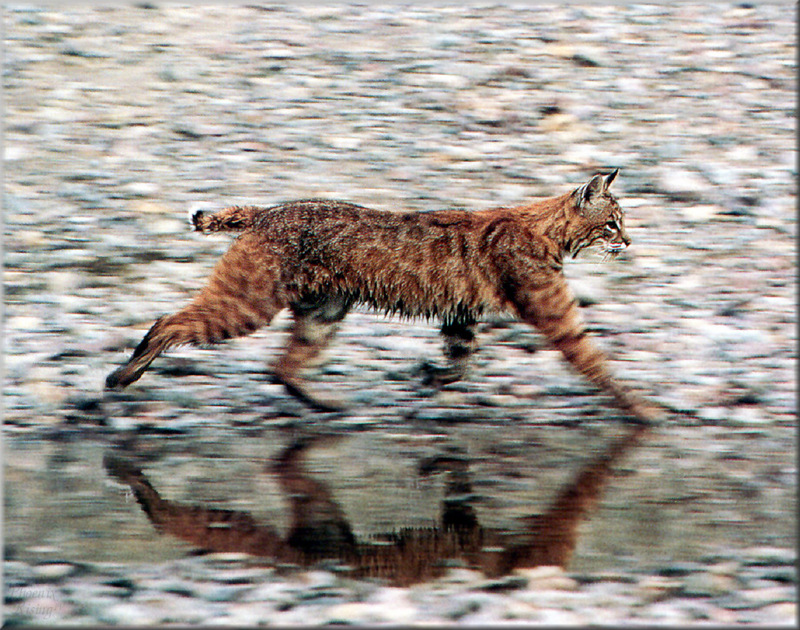 lynx forest jungle animal - photo #10