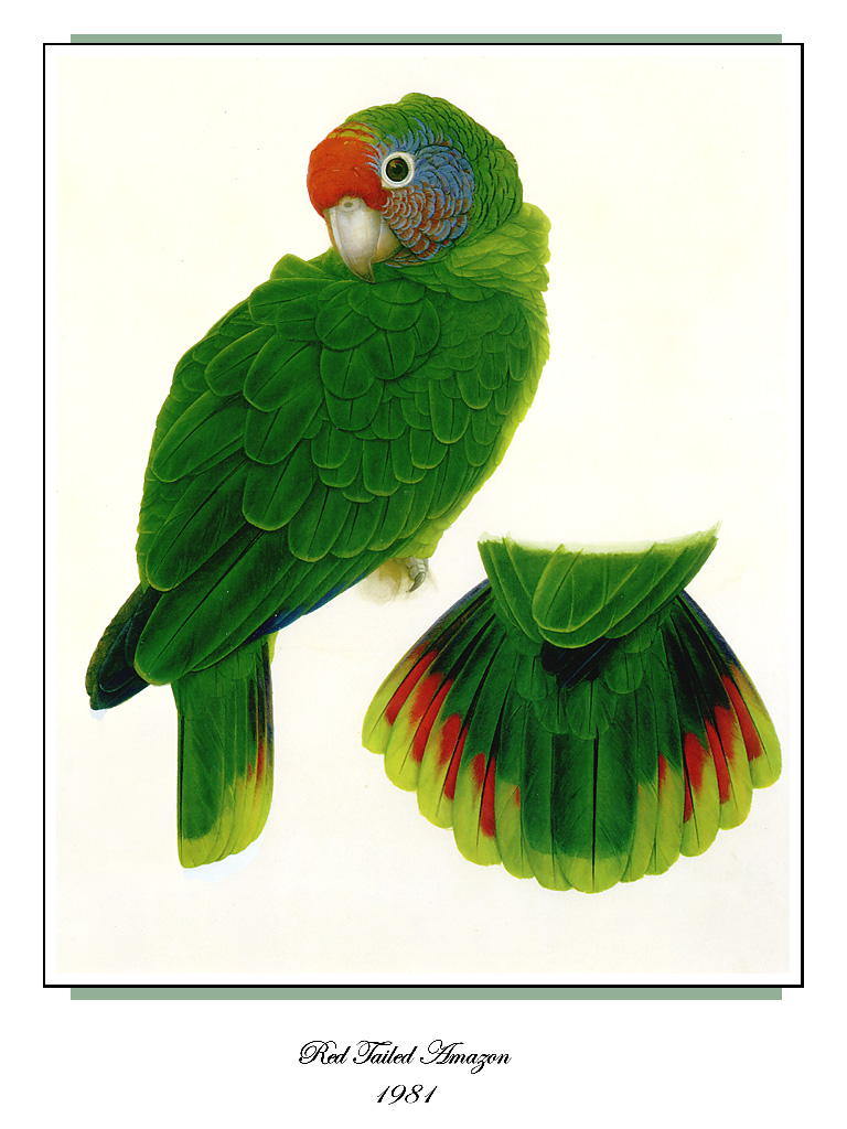 [Ollie Scan] Red-tailed Amazon (1981); Image ONLY