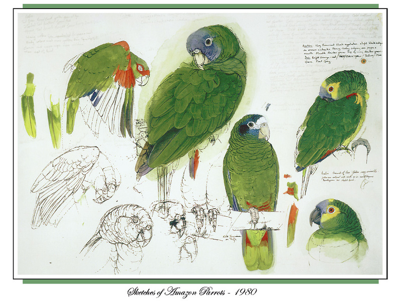 [Ollie Scan] Sketches of Amazon Parrots (1980); DISPLAY FULL IMAGE.