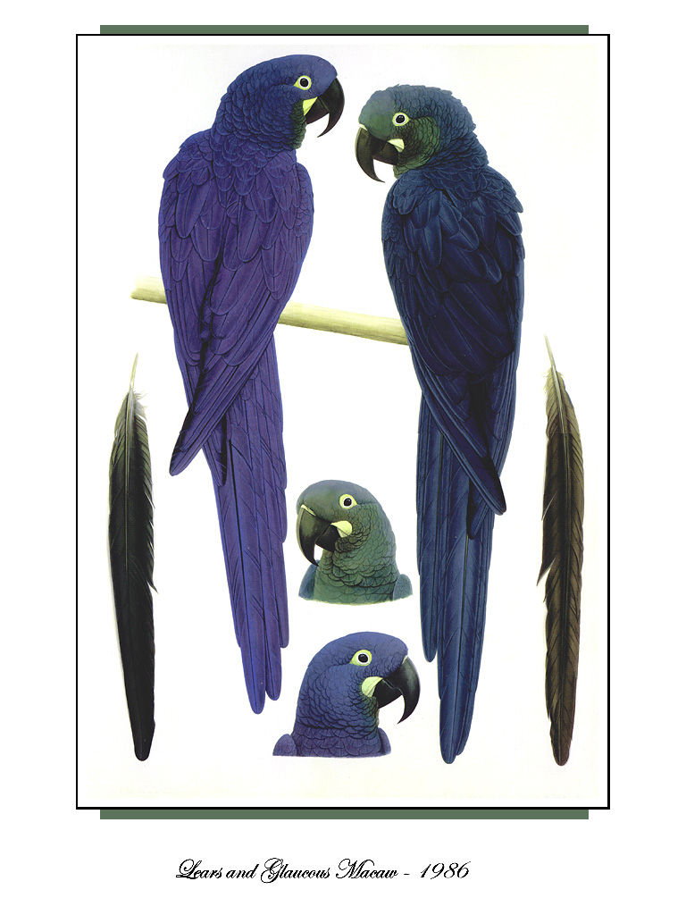 [Ollie Scan] Lear's and Glaucous Macaw (1986); Image ONLY