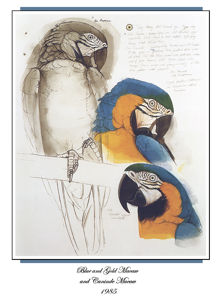[Ollie Scan] Blue and Gold Macaw and Caninde Macaw (1985); Image ONLY