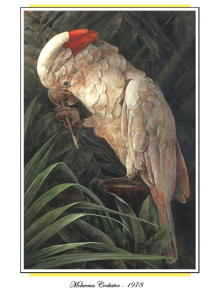 [Ollie Scan] Moluccan Cockatoo (1978); Image ONLY