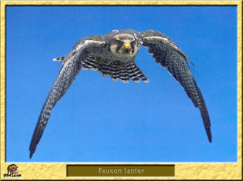 Faucon lanier - Falco biarmicus - Lanner Falcon; DISPLAY FULL IMAGE.