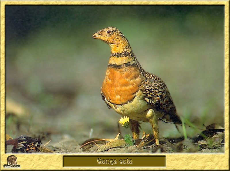 Ganga cata - Pterocles alchata - Pin-tailed Sandgrouse; DISPLAY FULL IMAGE.