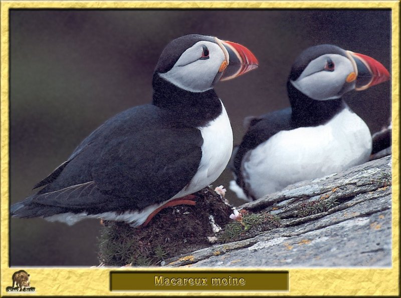 Macareux moine - Fratercula arctica - Atlantic Puffin; DISPLAY FULL IMAGE.