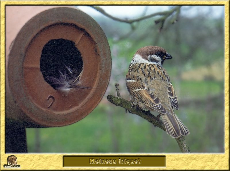Moineau friquet - Passer montanus - Eurasian Tree Sparrow; DISPLAY FULL IMAGE.