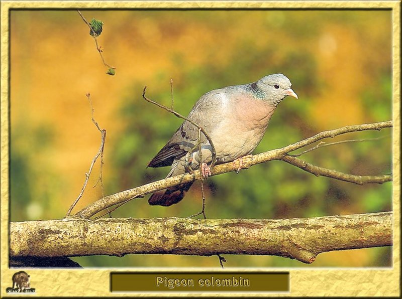 Pigeon colombin - Columba oenas - Stock Pigeon or Stock Dove; DISPLAY FULL IMAGE.