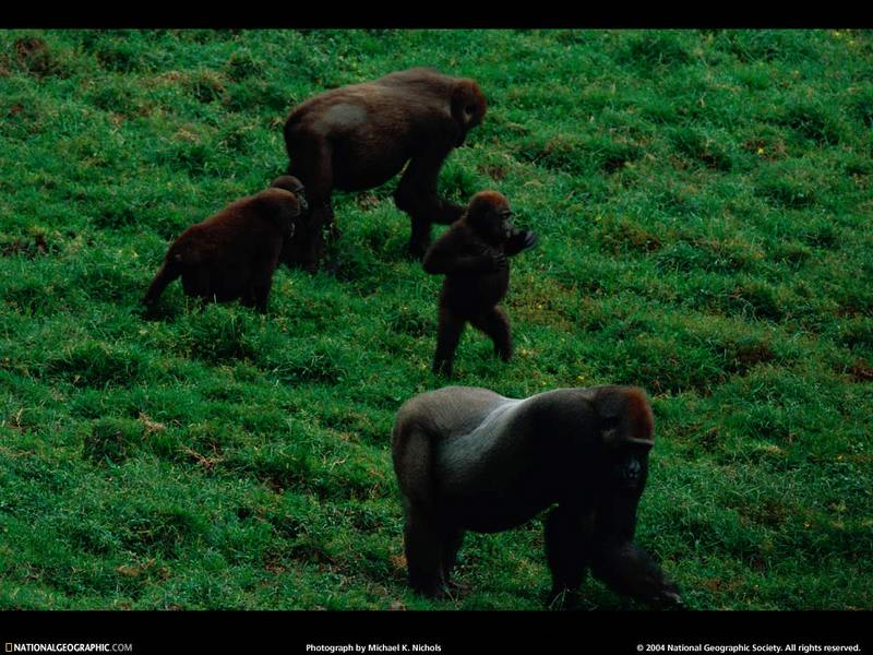 [National Geographic Wallpaper] Western Lowland Gorillas (저지고릴라); DISPLAY FULL IMAGE.