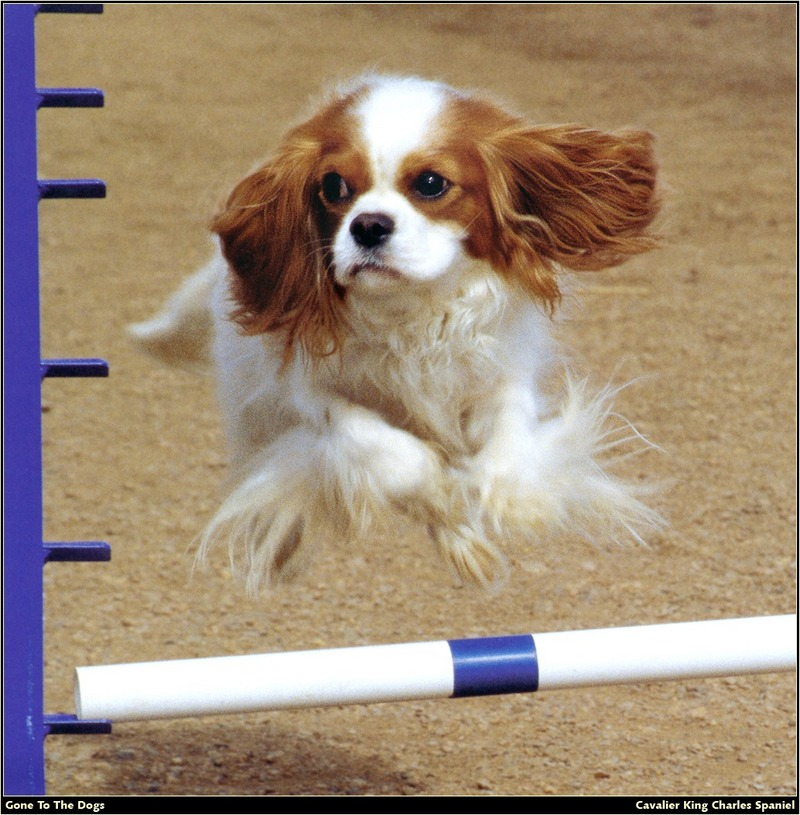 [RattlerScans - Gone to the Dogs] Cavalier King Charles Spaniel; DISPLAY FULL IMAGE.