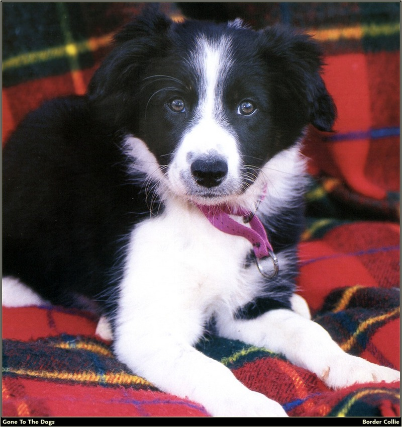 [RattlerScans - Gone to the Dogs] Border Collie; DISPLAY FULL IMAGE.