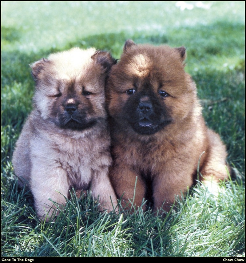 [RattlerScans - Gone to the Dogs] Chow Chow; DISPLAY FULL IMAGE.