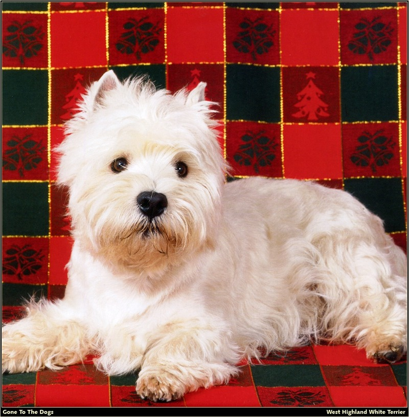 [RattlerScans - Gone to the Dogs] West Highland White Terrier; DISPLAY FULL IMAGE.