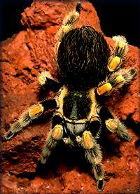 Chilean Rose-Haired tarantula (Grammostola gala) <!--타란튤라-->; Image ONLY