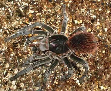 Ecuadorian Red Bloom Tarantula (Pamphobeteus vespertinus) <!--타란튤라-->; Image ONLY