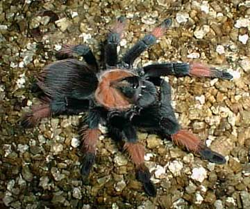 Mexican Painted Red Leg Tarantula (Brachypelma emilia) {!--타란튤라-->; Image ONLY