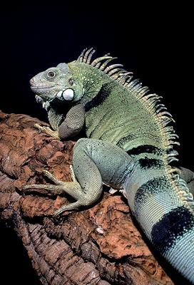 Common Green Iguana (Iguana iguana) <!--이구아나-->; Image ONLY