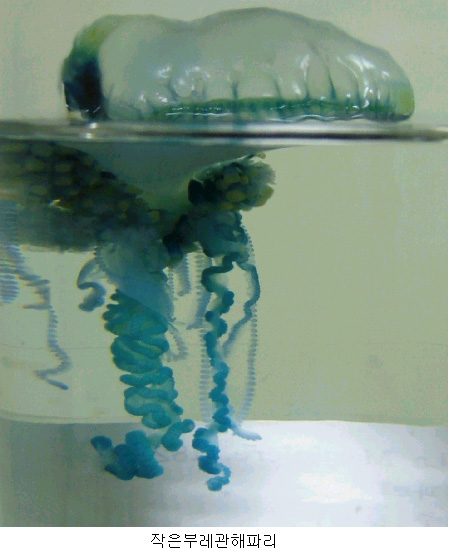 작은부레관해파리 Physalia physalis (Bluebottle Jellyfish) [국립수산과학원 2005-07-14]; Image ONLY