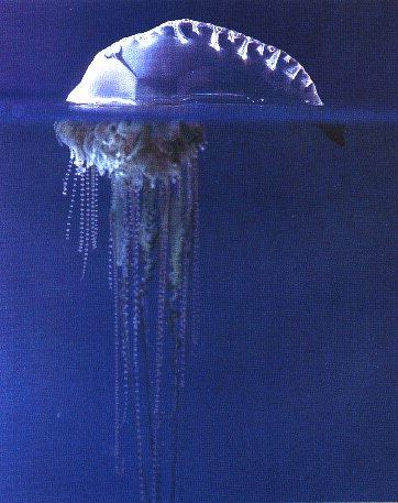 Bluebottle Jellyfish (Physalia physalis) <!--작은부레관해파리-->; Image ONLY