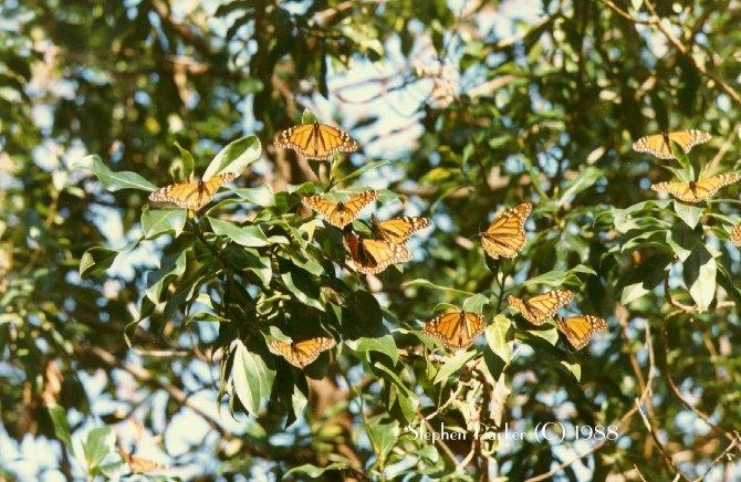 Monarch Butterfly (Danaus plexippus) <!--군주나비-->; Image ONLY
