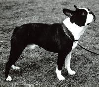 Boston Terrier <!--보스톤 테리어-->; Image ONLY