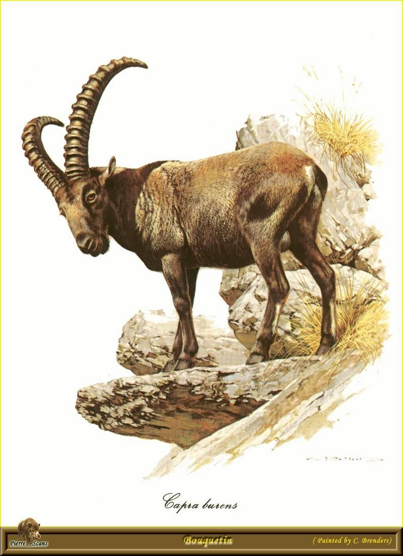 Ibex (Capra ibex) <!--아이벡스-->; DISPLAY FULL IMAGE.