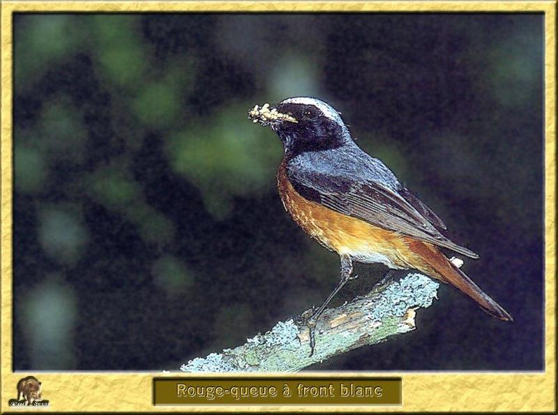 Common Redstart (Phoenicurus phoenicurus) <!--붉은꼬리딱새-->; DISPLAY FULL IMAGE.