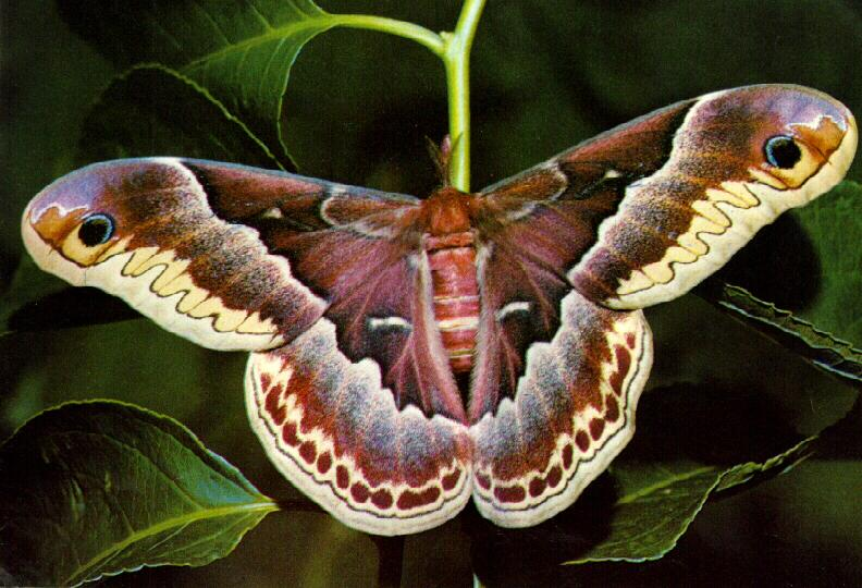 Promethea Moth (Callosamia promethea) <!--프로메테우스누에나방-->; Image ONLY