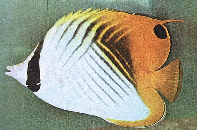 Threadfin Butterflyfish (Chaetodon auriga) <!--가시나비돔(가시나비고기)-->; Image ONLY