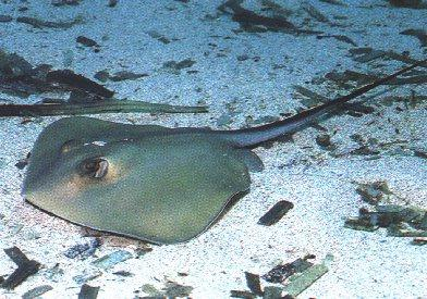 Stingray <!--가오리류-->; Image ONLY