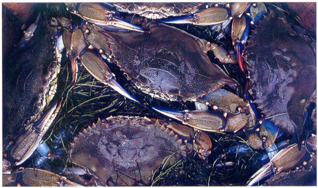 Virginia Blue Crab; Image ONLY