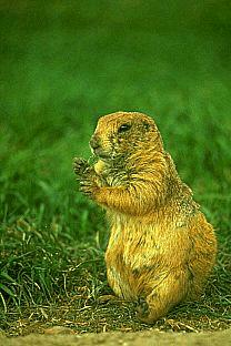 SDZ 0195-prairie dog.jpg
