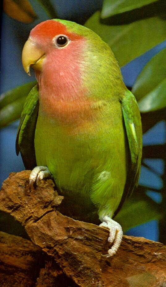 Peach-faced Lovebird (Agapornis roseicollis) <!--벚꽃모란앵무(분홍사랑앵무)-->; Image ONLY