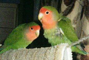 Peach-faced Lovebird (Agapornis roseicollis) <!--벚꽃모란앵무-->; Image ONLY