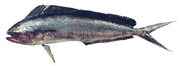 Common Dolphinfish (Coryphaena hippurus) <!--만새기-->; Image ONLY