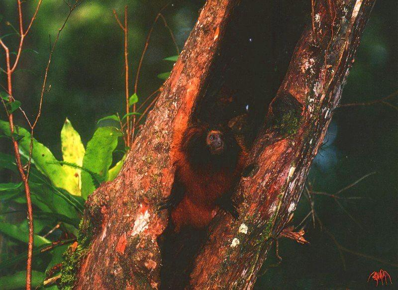 Black-faced Lion Tamarin (Leontopithecus caissara) <!--검은머리사자비단원숭이-->; Image ONLY
