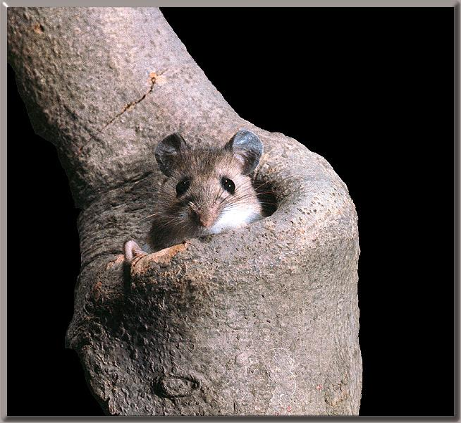 White-footed Mouse (Peromyscus leucopus) {!--흰발생쥐-->; Image ONLY