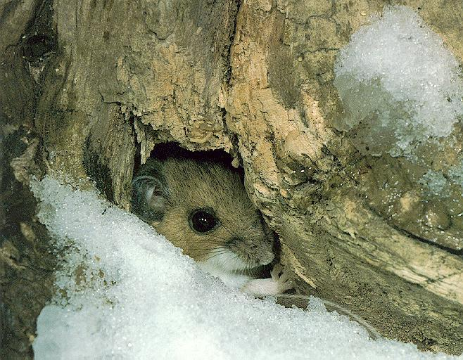 White-footed Mouse (Peromyscus leucopus) <!--흰발생쥐-->; Image ONLY
